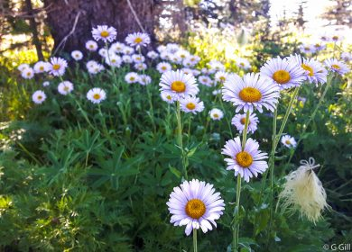 Wildflowers in Sub Alpine Meadows of Manning Park