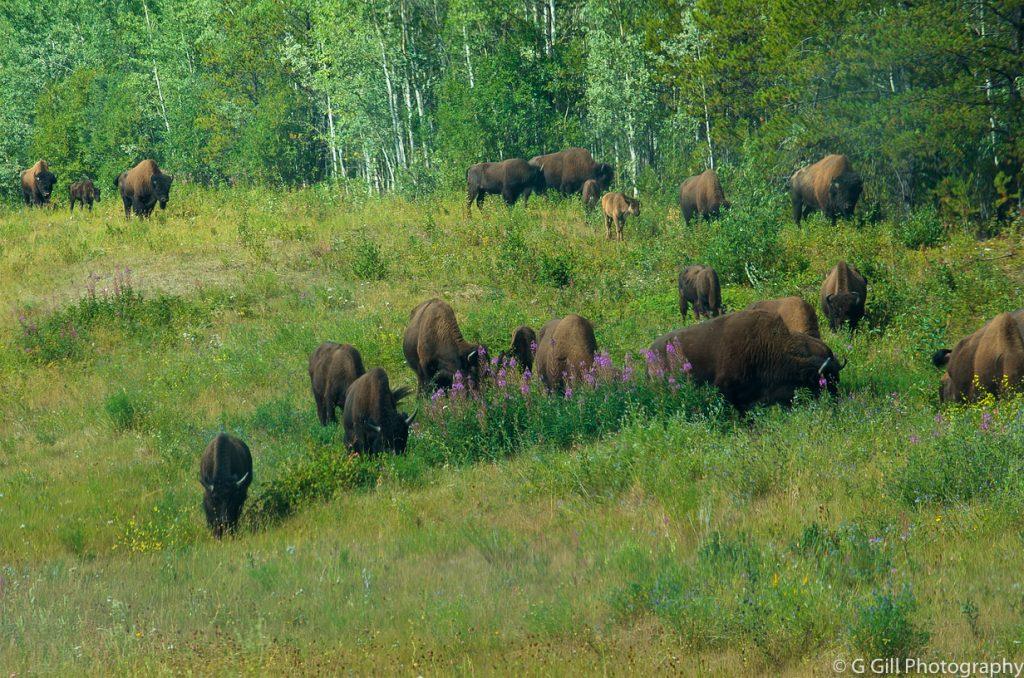 Bison - Alaska Highway